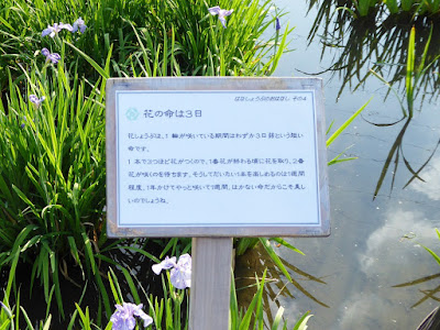 山田池公園・花しょうぶ園 花の命は3日