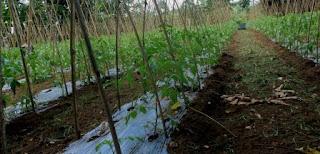 cara menanam tomat dan budidaya tomat