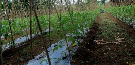 8 langkah Menanam Tomat Agar Berbuah lebat