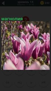 На поляне зацвел прекрасный цветок магнолия, открылись бутоны розового цвета