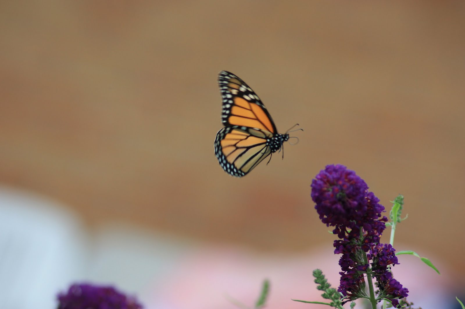 images of butterflies flying - photo #12
