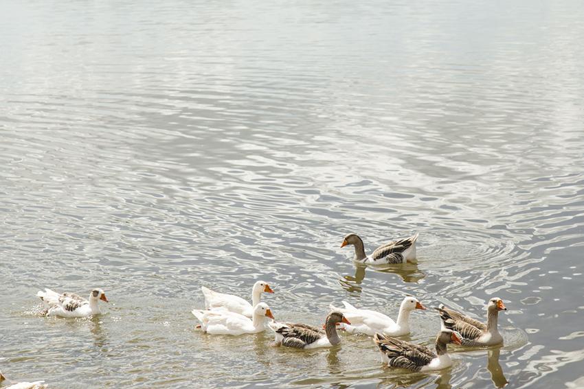 patos no Lago do Parque da Cidade de Brasilia