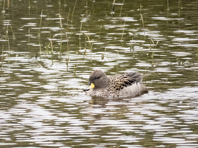 Birds of Patagonia: Spectacled teal