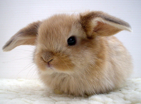 bunny cute bunnies rabbits rabbit baby pet animals adorable cutest sweet tiny bunnie bunnny really lop easter ever cutie fuzzy