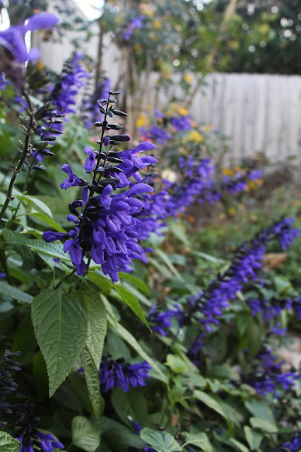 salvia, black and blue salvia, garden, November, Anne Butera, My Giant Strawberry