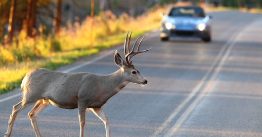5 tips to avoid hitting a deer-Number 2 is obvious!