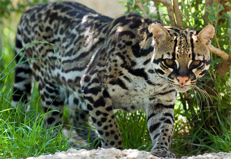 Pictures Of Ocelot Cats
