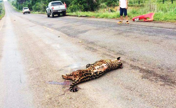 Onça pintada morre atropelada e agoniza na pista da BR 319 trecho Humaitá e Porto Velho