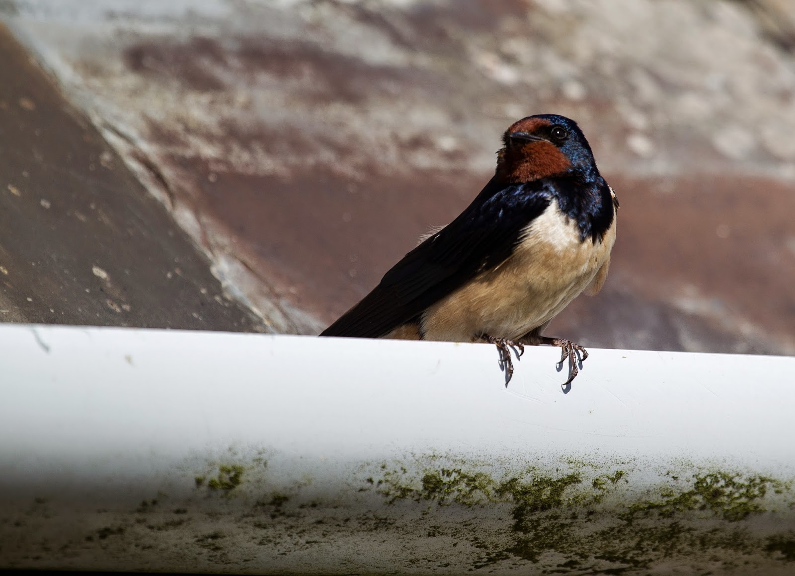 Barn Swallow  - Skomer - Simon Colenutt