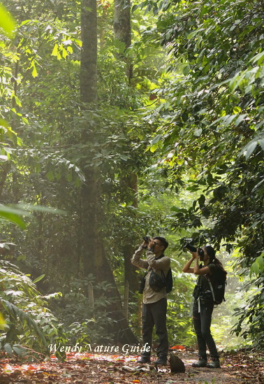 Birdwatching in Langkawi lowland forest