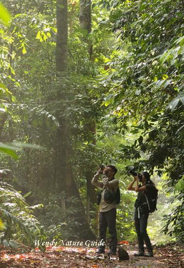Birdwatching in Langkawi lowland forest