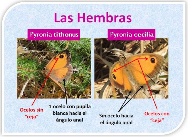 Diferencias entre hembras de Pyronia tithonus y Pyronia cecilia