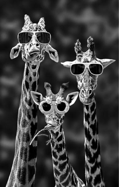 giraffe, occhiali da sole,