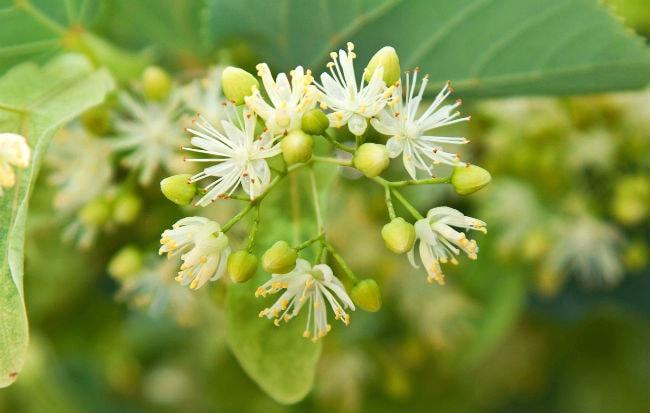 Fiori e foglie di tiglio, rimedio naturale contro l'ansia