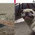 7 advices to get your pug loses pounds