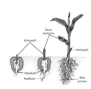 pertumbuhan pada flora sanggup diartikan sebagai seluruh penambahan ukuran organisme ata Rangkuman Materi : Pertumbuhan dan Perkembangan