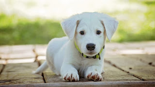 Razas de perros pequeños: ventajas y desventajas de ser dueño de un perro pequeño