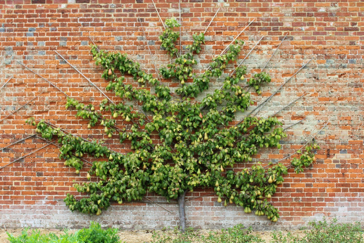 Pear Tree against brick wall