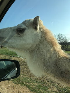Friendly Camel at Wild Wilderness Drive Through Safari in Gentry, Arkansas