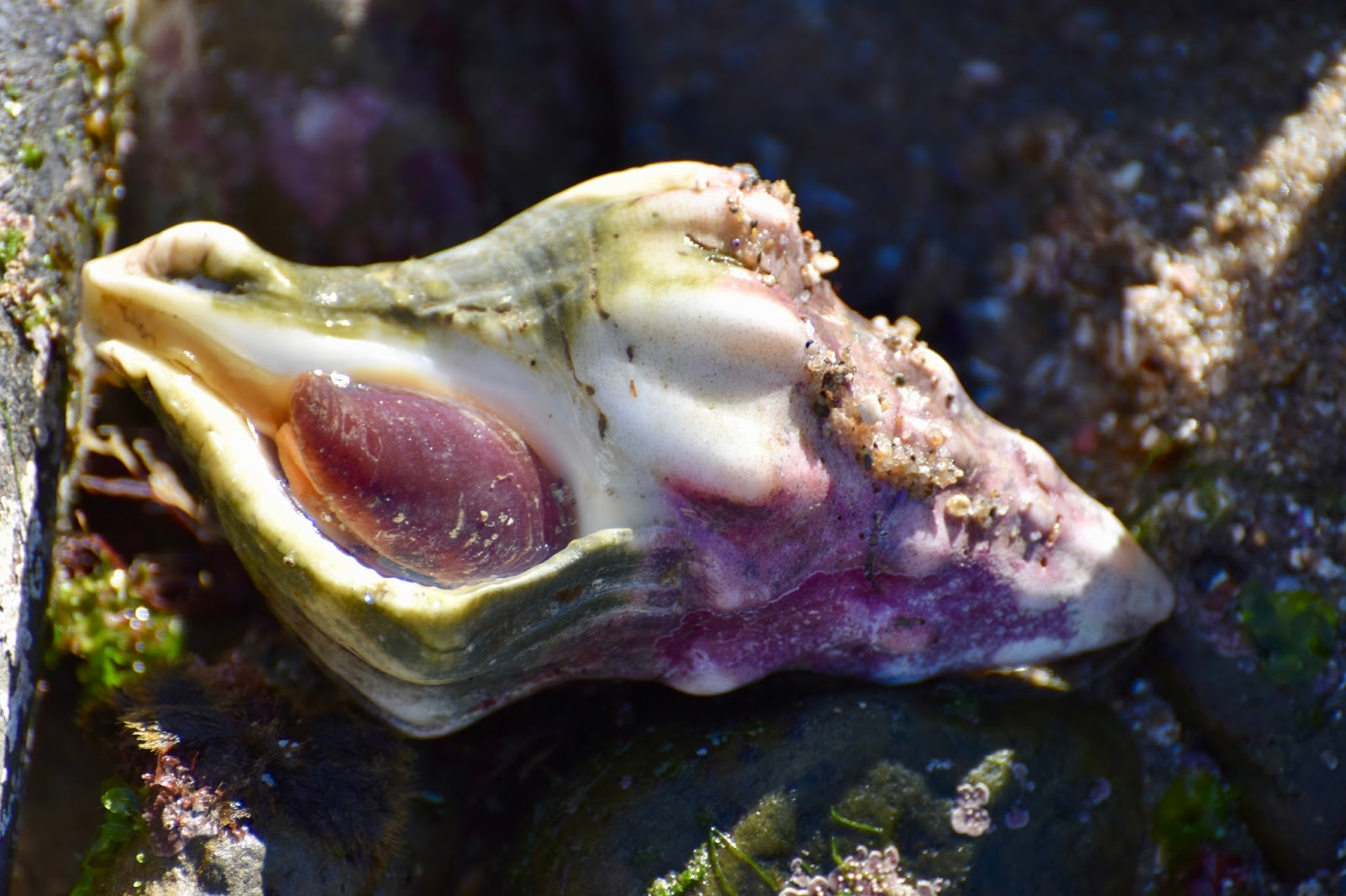 Good times rollin cabrillo tidepools the kellets whelk is the largest sea snail nvjuhfo Choice Image