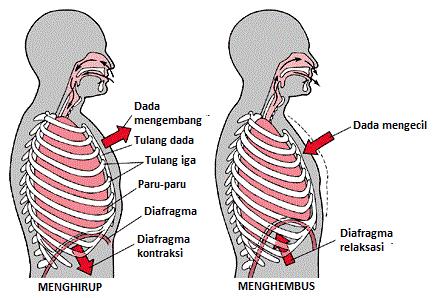 Gambar proses pernapasan pada manusia