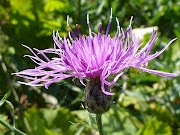 Gorgeous Lavender Thistle