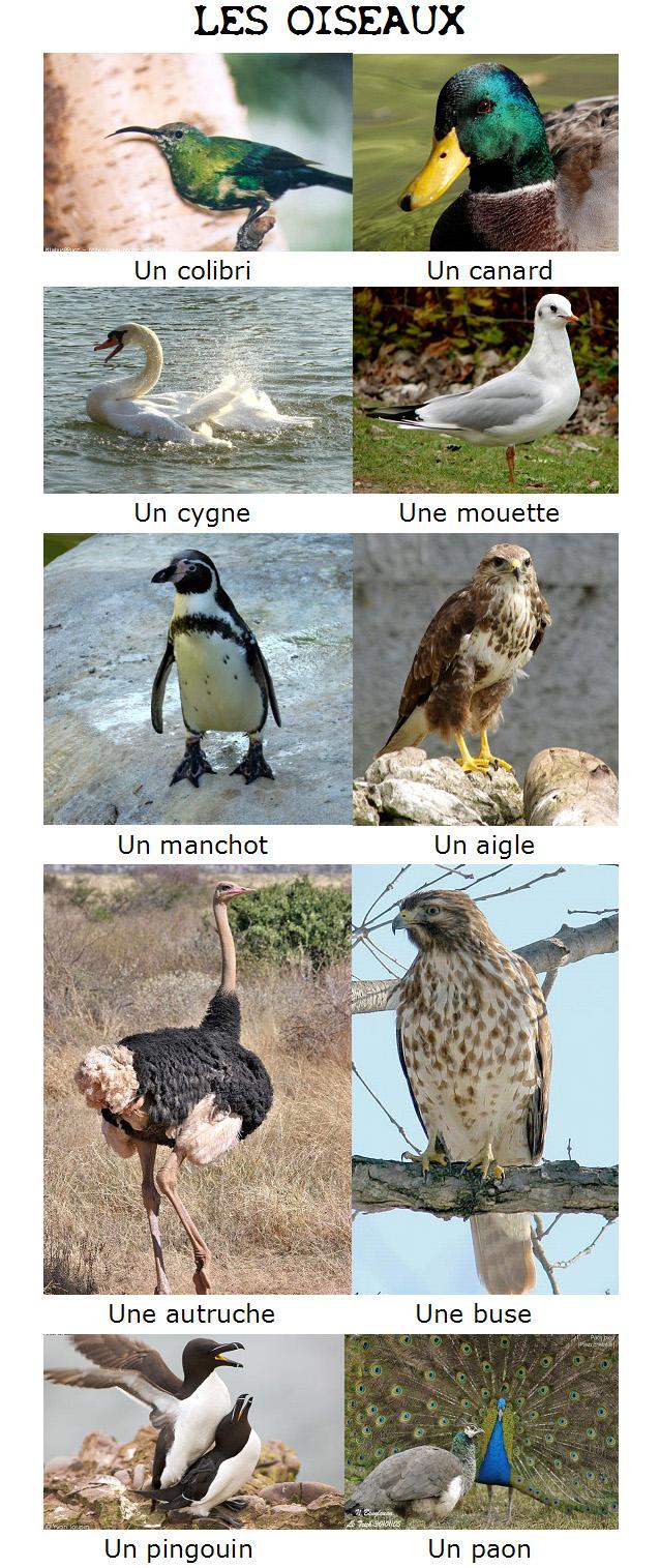 Ptaki - słownictwo 1 - Francuski przy kawie