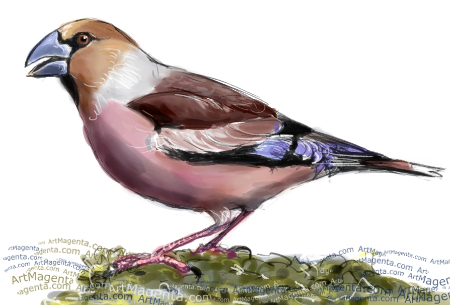Hawfinch sketch painting. Bird art drawing by illustrator Artmagenta