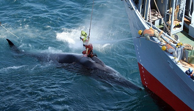 JAPANESE WHALE HUNTING KILLS THOUSANDS OF WHALES
