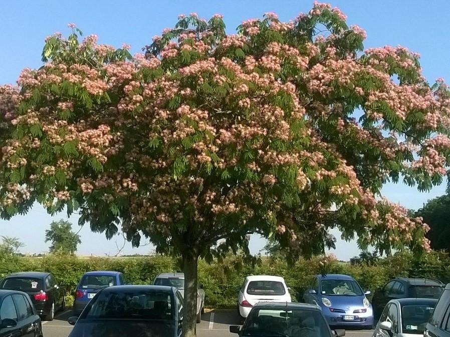 Uuu U >> Albizia julibrissin, un'Acacia dai Fiori Rosa che Adorna Parchi e Strade | Il Gusto Della Natura