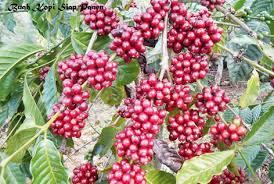 penyubur tanaman kopi