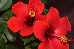 Manfaat Bunga Sepatu untuk Obat Herbal