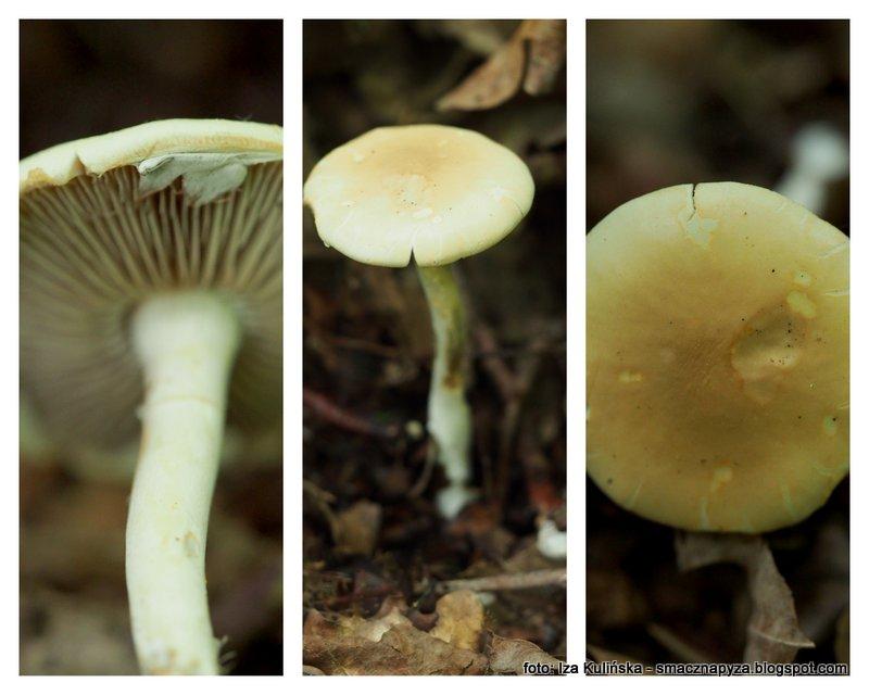 polowka wczesna, grzybek, jaki to grzyb, atlas grzybow
