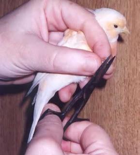 Perawatan Paruh dan Kuku Burung Kenari - Menjaga Kebersihan Tubuh Kenari