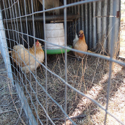 eight acres: all about bantam chickens