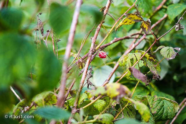 Raspberry bushes at East Machias River Park