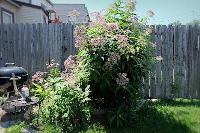 joe pye weed plant overgrown large bees