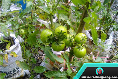 (COMPLETE) How to Grow Tomatoes Nursery, Planting, Fertilization, Maintenance and Harvesting