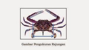 Alasan Inilah Kenapa Penangkapan Lobster Kabar Terbaru- ALASAN KENAPA PENANGKAPAN LOBSTER DAN KEPITING DI BATASI