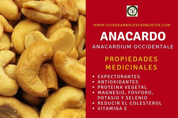 El anacardo tiene propiedades medicinales expectorantes, antioxidantes, reduce el colesterol