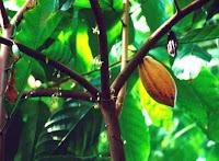 http://basica.primariatic.sep.gob.mx/descargas/colecciones/proyectos/red_escolar/publi_reinos/flora/cacao/galeria.htm