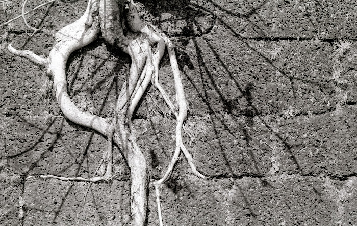 Goa, Chapora, racines dans les pierres, © L. Gigout, 1990