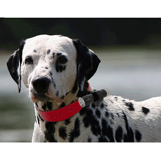 Dalmatian wearing an Eyenimal Dog Videocam