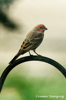 Cramer Imaging's professional nature animal photograph of a wild finch bird perched on a black rod in Pocatello, Bannock, Idaho