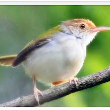Mitos si Cantik Burung Prenjak