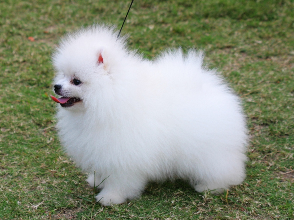Pomeranian Dog Wallpaper Pets Cute And Docile