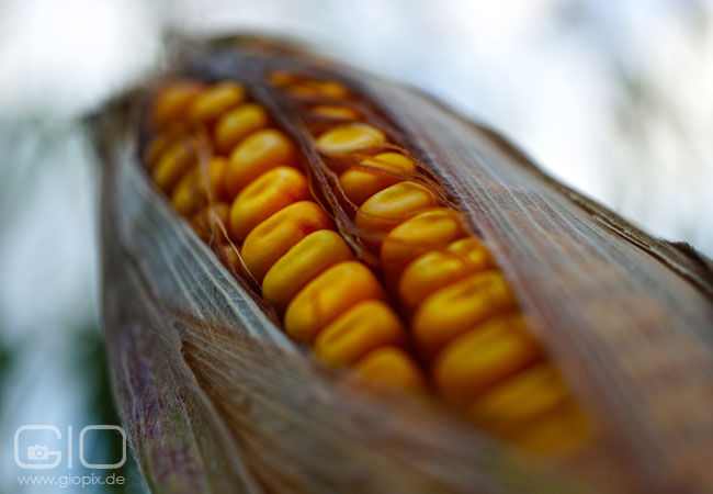 Photo: Maize Closeup