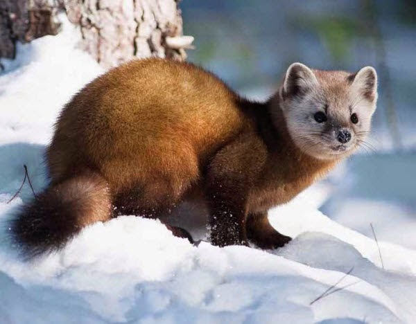 American Martens Animals | Interesting Facts & Latest ...