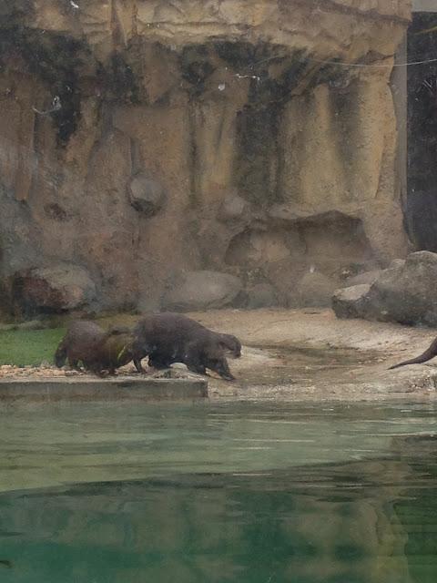 Lontras do Rio no Fluviário de Mora