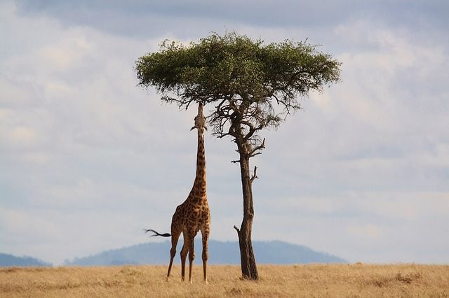 Giraffe ki photo